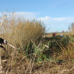 Willow Coppicing